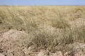 Sporobolus airoides - Flickr - aspidoscelis (4).jpg