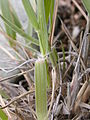 Sporobolus cryptandrus (3796727047).jpg