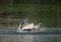 Spot-billed Pelican (Pelecanus philippensis) bathing in Uppalpadu, AP W IMG 3408.jpg