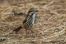 Spotted Morning Thrush - Kenya NH8O6176 (19367463161).jpg