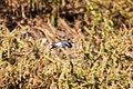 Spotted sandpiper (36436693043).jpg