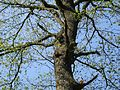 Squirrels in a tree in a forest of Yvelines in France - 20060606.jpg