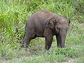 Sri Lankan Elephant in Hurulu Eco Park 23.jpg