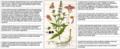 Stachys palustris Sturm DESC.png