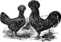 Standard varieties of chickens (1916) (14762803772).jpg