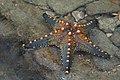 Starfish 07 (paulshaffner).jpg