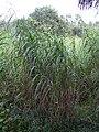 Starr-031108-0226-Cenchrus purpureus-habit-Sarasota-Florida (24674655505).jpg
