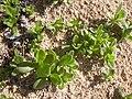 Starr-040125-0023-Nicotiana glauca-seedlings-Kanaha Beach-Maui (24070481353).jpg
