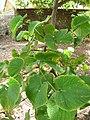 Starr-050407-6215-Piper methysticum-habit-Maui Nui Botanical Garden-Maui (24627139982).jpg