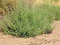 Starr-050517-1444-Bassia hyssopifolia-habit-Kakahaia-Molokai (24762937445).jpg