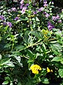 Starr-080103-1328-Lantana montevidensis-flowering habit-Lowes Garden Center Kahului-Maui (24271392014).jpg