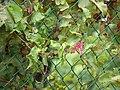 Starr-090416-5988-Antigonon leptopus-flowers and leaves-Makawao-Maui (24925667936).jpg