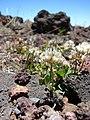 Starr-090504-7263-Trifolium repens-flowering habit-Science City-Maui (24323623344).jpg
