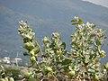 Starr-090608-9014-Calotropis procera-leaves flowers and fruit-Waikapu-Maui (24869372511).jpg