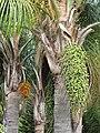Starr-090609-0333-Syagrus romanzoffiana-fruit-Haiku-Maui (24332536944).jpg