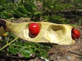 Starr-090721-3302-Adenanthera pavonina-seeds in pod-Old Ka Lima nursery Wailuku-Maui (24675043000).jpg