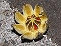 Starr-090803-3571-Clusia rosea-fruit-Waiehu-Maui (24944646986).jpg
