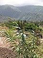 Starr-090803-3581-Arundo donax-flowering habit-Iao Stream Wailuku-Maui (24340382954).jpg