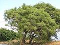Starr-090806-4075-Euphorbia tirucalli-habit-Kahului-Maui (24604247009).jpg
