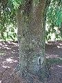 Starr-091104-0903-Podocarpus gracilior-base and trunk-Kahanu Gardens NTBG Kaeleku Hana-Maui (24620188289).jpg