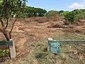 Starr-110328-3402-Thespesia populnea-scoured area after tsunami-Kanaha Beach-Maui (24961974852).jpg