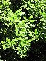 Starr-110331-4416-Macadamia integrifolia-leaves-Shibuya Farm Kula-Maui (24714021259).jpg