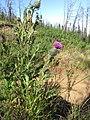 Starr-110727-7935-Cirsium vulgare-flowering habit-Polipoli-Maui (25008627431).jpg