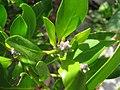 Starr-120412-9331-Conocarpus erectus-leaves and fruit forming-Waihee Coastal Preserve-Maui (25112026486).jpg