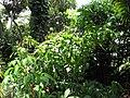 Starr-120522-6511-Pachystachys spicata-red flowering habit-Iao Tropical Gardens of Maui-Maui (25050562821).jpg