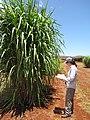 Starr-120702-7886-Cenchrus purpureus x glaucum-Hoolehua PMC hybrid Pearl Millet x banagrass var banagrass with Kim-USDA Plant Materials Center-Molokai (25159859316).jpg