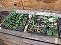 Starr-130319-3108-Lactuca sativa-variety of veggie starts for growing in pots-Kilauea Pt NWR-Kauai (24841002809).jpg