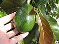Starr-130504-4351-Persea americana-Little Cado fruit and leaves-Hawea Pl Olinda-Maui (25210561895).jpg
