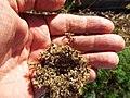 Starr-131216-2784-Daucus carota subsp sativus-seedhead-Hawea Pl Olinda-Maui (24597838494).jpg