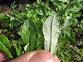 Starr-140318-4271-Gamochaeta pensylvanica-leaves-Holua Hilton HNP-Maui (25148122711).jpg