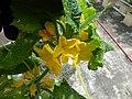 Starr-150326-0882-Cucumis sativus-flowers in Hydroponics greenhouse-Town Sand Island-Midway Atoll (24899407729).jpg