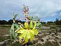 Starr-170628-0272-Ricinus communis-leaves flowers fruit forming-Radar Hill Sand Island-Midway Atoll (36060123690).jpg