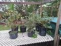 Starr-170909-0045-Vaccinium hybrid-southern highbush varieties in pots fruiting-Hawea Pl Olinda-Maui - Flickr - Starr Environmental.jpg