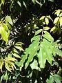 Starr-Myrciaria cauliflora-leaves.jpg