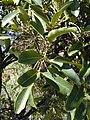 Starr 030210-0010 Tetraplasandra oahuensis.jpg