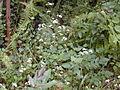 Starr 030405-0073 Ageratina adenophora.jpg