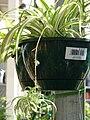 Starr 080117-2213 Chlorophytum comosum.jpg