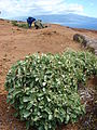 Starr 080209-2686 Achyranthes splendens var. splendens.jpg