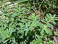 Starr 080531-4840 Chamaesyce maculata.jpg