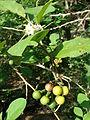 Starr 080601-5137 Solanum torvum.jpg
