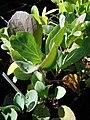 Starr 081031-0424 Brassica oleracea.jpg