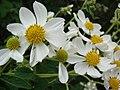 Starr 081230-0657 Montanoa hibiscifolia.jpg