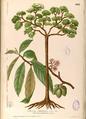 Sterculia sp Blanco2.448-original.png