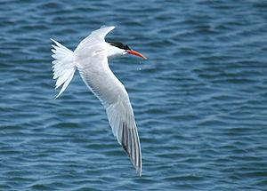 San Lorenzo Marine Archipelago National Park - Elegant tern