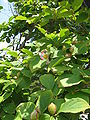 Stewartia pseudocamellia2.jpg