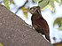 Straight-billed Woodcreeper.jpg